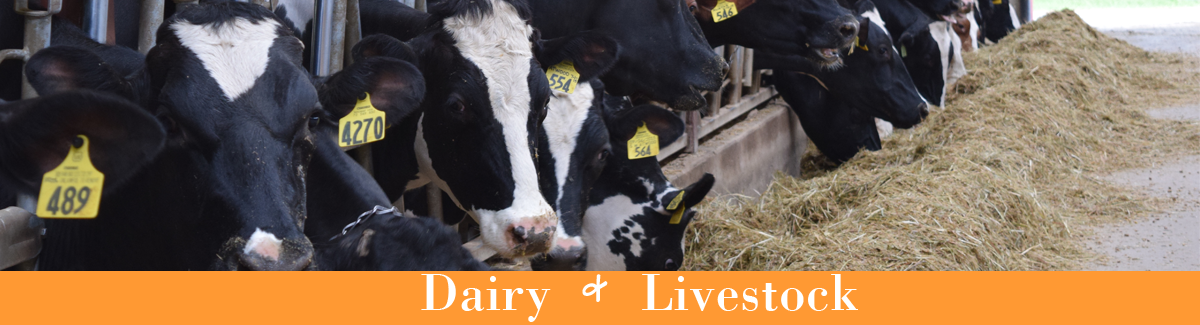 """Cows in a line eating, the words """"dairy and livestock"""" are below them"""