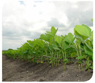 Soybeans stand tall in a field